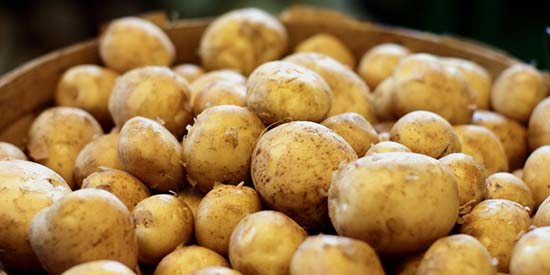 dutch-farmers-are-growing-salt-tolerant-potatoes-2
