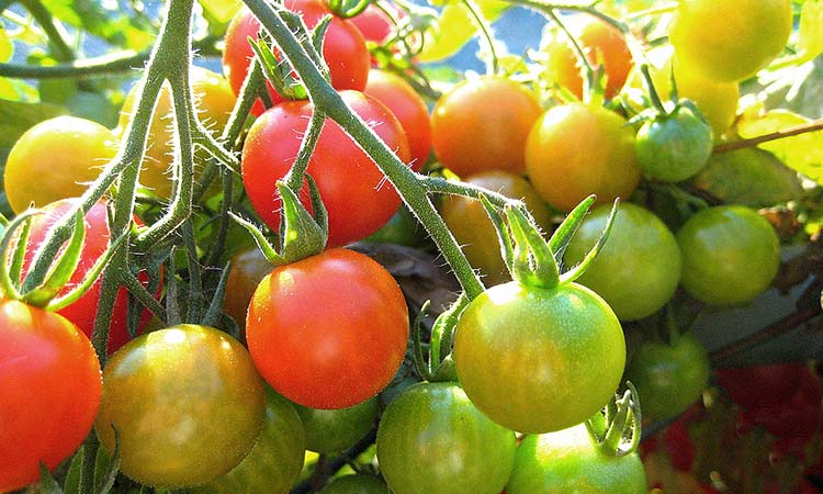 Tomato-ripening-on-vine1
