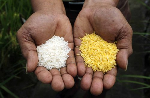 """A scientist shows """"Golden Rice"""" (R) and ordinary rice at the International Rice Research Institute in Los Banos, Laguna south of Manila, August 14, 2013. Bruce Tolentino, Deputy Director of the International Rice Research Institute, said his team has been perfecting their decades-old research on ìGolden Riceî, which consists of genetically-modified rice grains infused with beta-carotene, a chemical substance responsible in producing Vitamin A in the body. He also said,ì In the Vitamin A-enriched rice, what the scientists did was to select three genes out of roughly 30,000 genes in a rice plant. Picture taken August 14, 2013.  REUTERS/Erik De Castro (PHILIPPINES - Tags: AGRICULTURE FOOD BUSINESS) - RTX12N8E"""