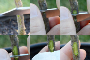 cutting-citrus-rootstock
