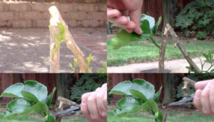 removing-citrus-rootstock