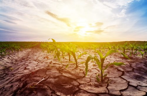 Drought in cultivated corn maize crop field